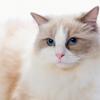 布偶猫吃什么对毛发好?